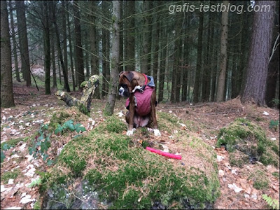 Boxer Amy auf einem Moosberg im Wald