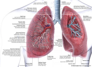 anatomy lungs
