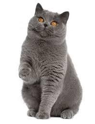 Kucing British Shorthair dan Karakteristiknya