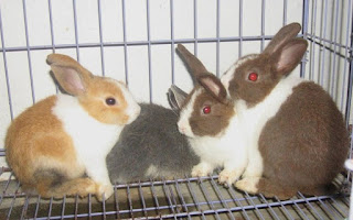 cara membedakan kelinci jantan dan betina saat masih kecil,cara membedakan kelinci jantan dan betina anakan,cara membedakan kelinci jantan dan betina yang masih kecil,