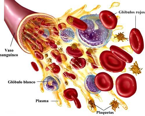 Glóbulos rojos, glóbulos blancos, plaquetas y plasma