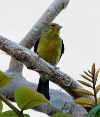 Burung Kenari dan Jenis-jenisnya