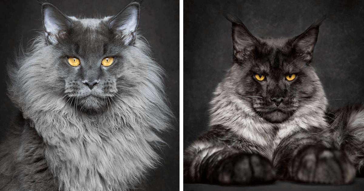 6a2e449d906e O φωτογράφος Robert Sijka μας παρουσιάζει την μεγαλύτερη σε μέγεθος  κατοικίδια γάτα στο κόσμο