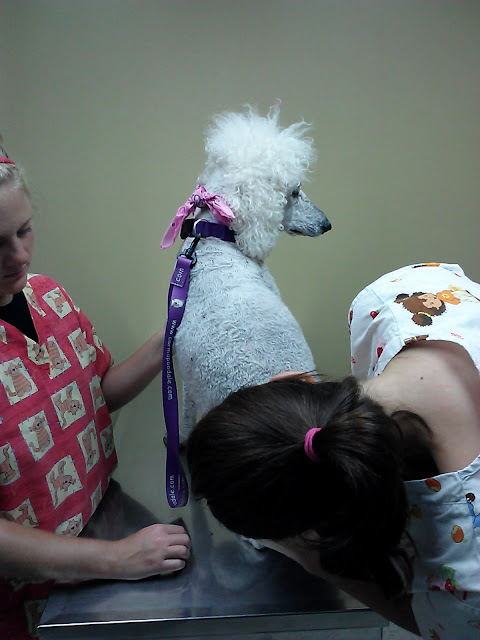 Vet techs checking out a poodle who had surgery