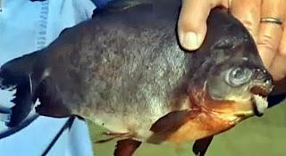 ikan pemakan testis