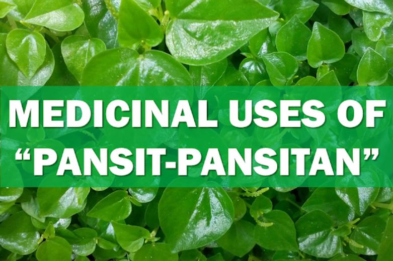pansit pansitan herbal plant