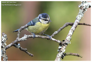 https://bioclicetphotos.blogspot.fr/search/label/M%C3%A9sange%20bleue%20-%20Cyanistes%20caeruleus