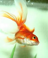 "Jenis Ikan koki Fantail "" Ekor Kipas "" kipas berputar"