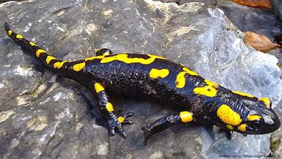 gambar salamander