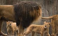 Yavru Aslanların Anne ve Babasıyla Sevimli Oyunları