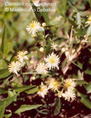Clematis montevidensis