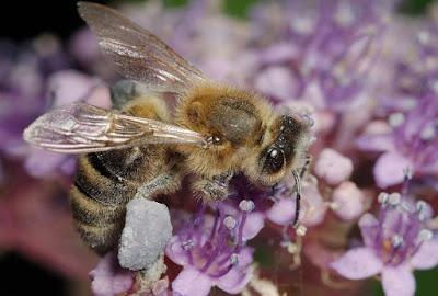 Το 80% της άγριας βλάστησης δε θα υπήρχε χωρίς τις μέλισσες!