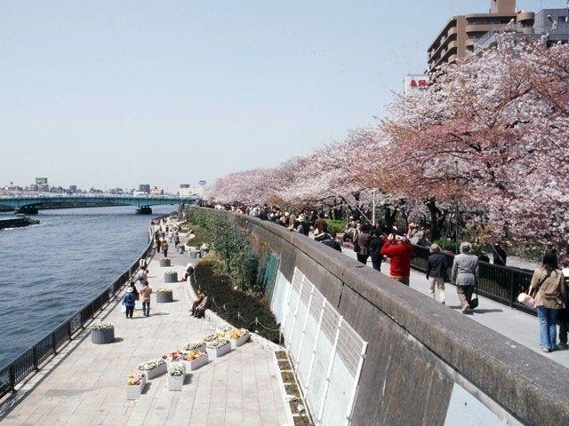 7. ทัวร์โตเกียว ชมซากุระที่สวนสุมิดะ