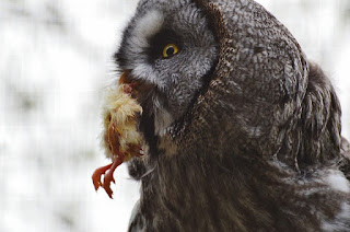 Makanan burung hantu Javan Owl