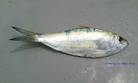 Fringescale Sardinella