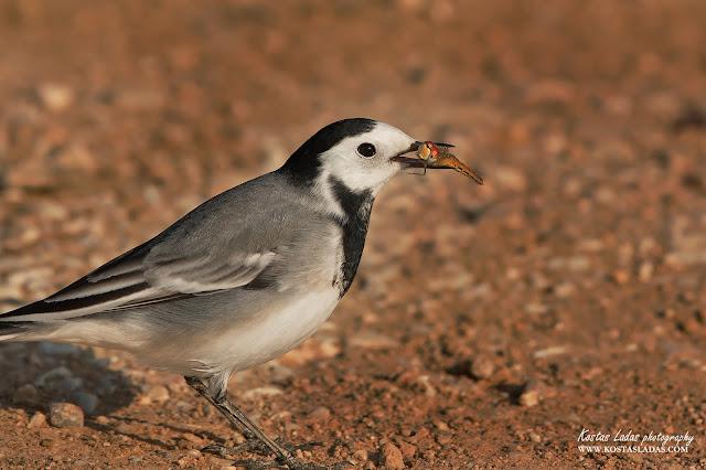πανιδα,άγρια φύση ,birds,Greece,Φωτογραφίες πουλιών Κώστας Λαδάς