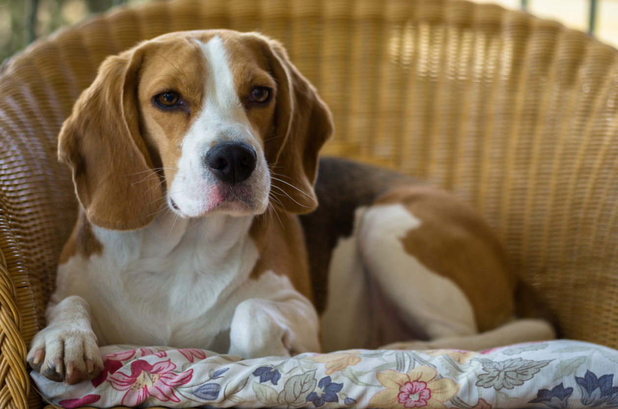 Породистые собаки для дома с картинками