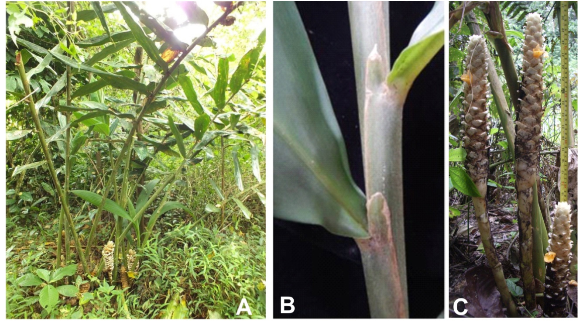 Spesies Baru Jahe Dari Sumatra Generasi Biologi