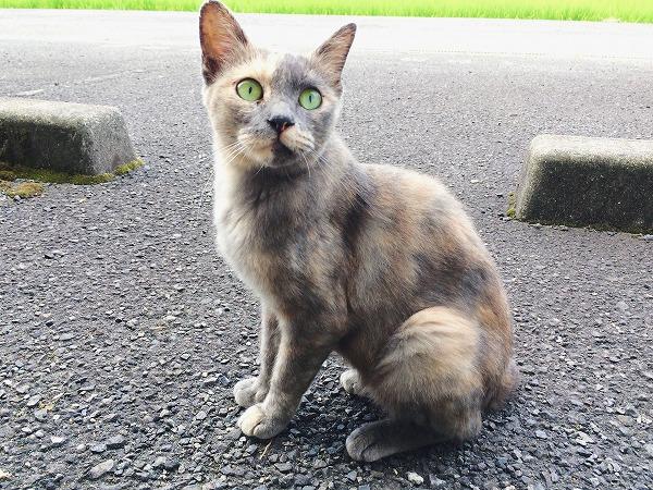 夏毛に生え変わってすっきり細身になったサビ猫