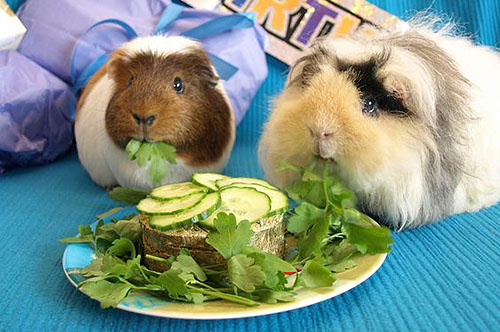 Twee cavia's aan het eten