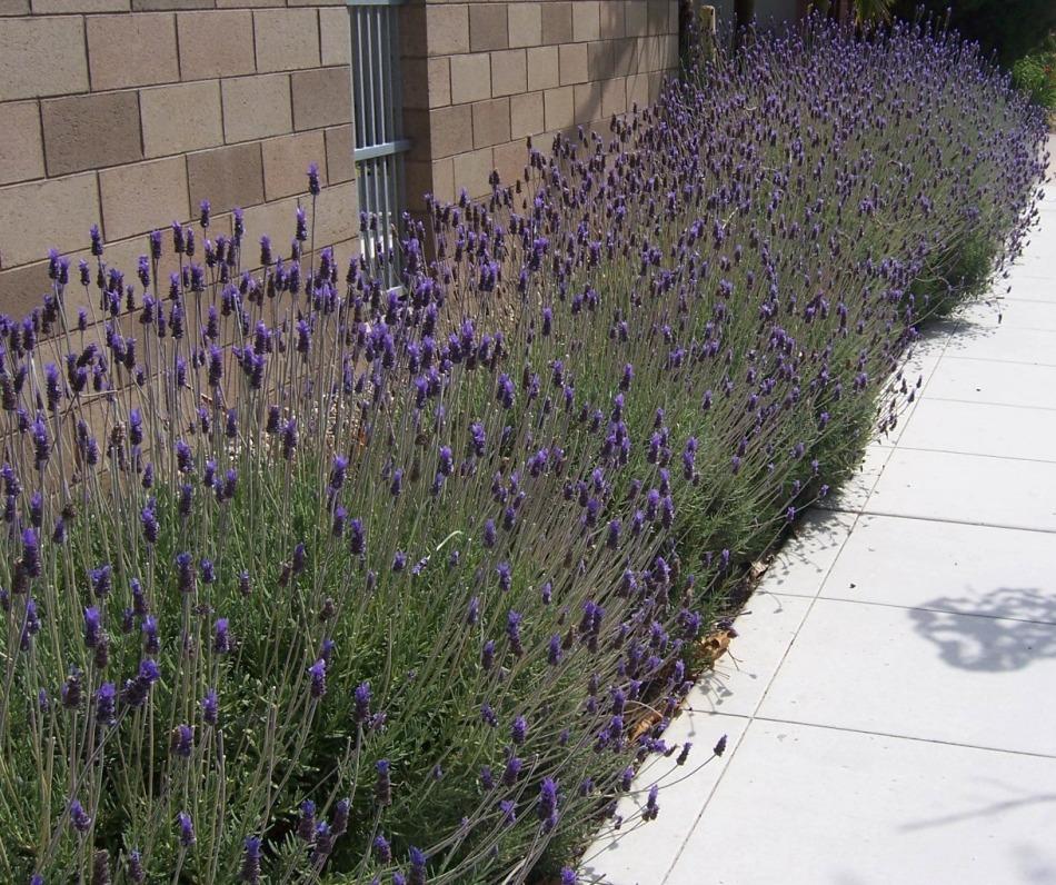 The 2 Minute Gardener Photo French Lavender Lavandula