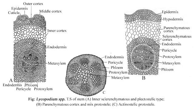 Lycopodium mature stem