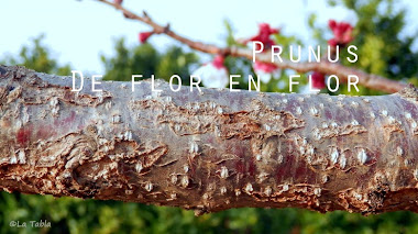 Prunus. Primavera de flor en flor