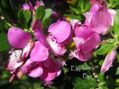 Polygala mytrifolia flowers