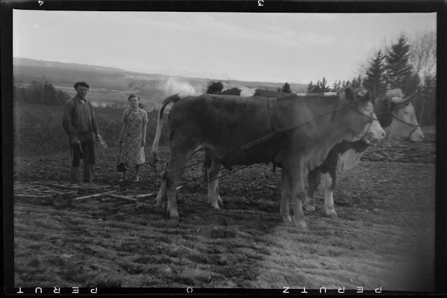 Rinder alZugtiere vor einem Pflug bei der Feldarbeit - Gars am Inn - 1930-1950