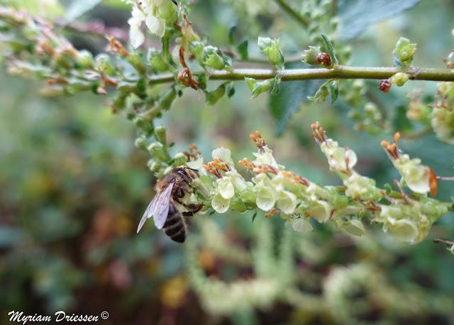 Abeille butinant des fleurs de Germandrée scorodoine, Montagne Noire Tarn