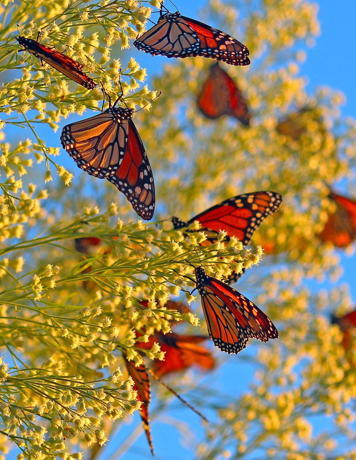 Monarch butterfly migration tree - photo#54