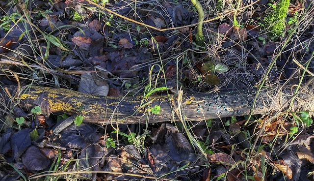 Log with two fungus species.  High Elms Country Park, 2 January 2017.