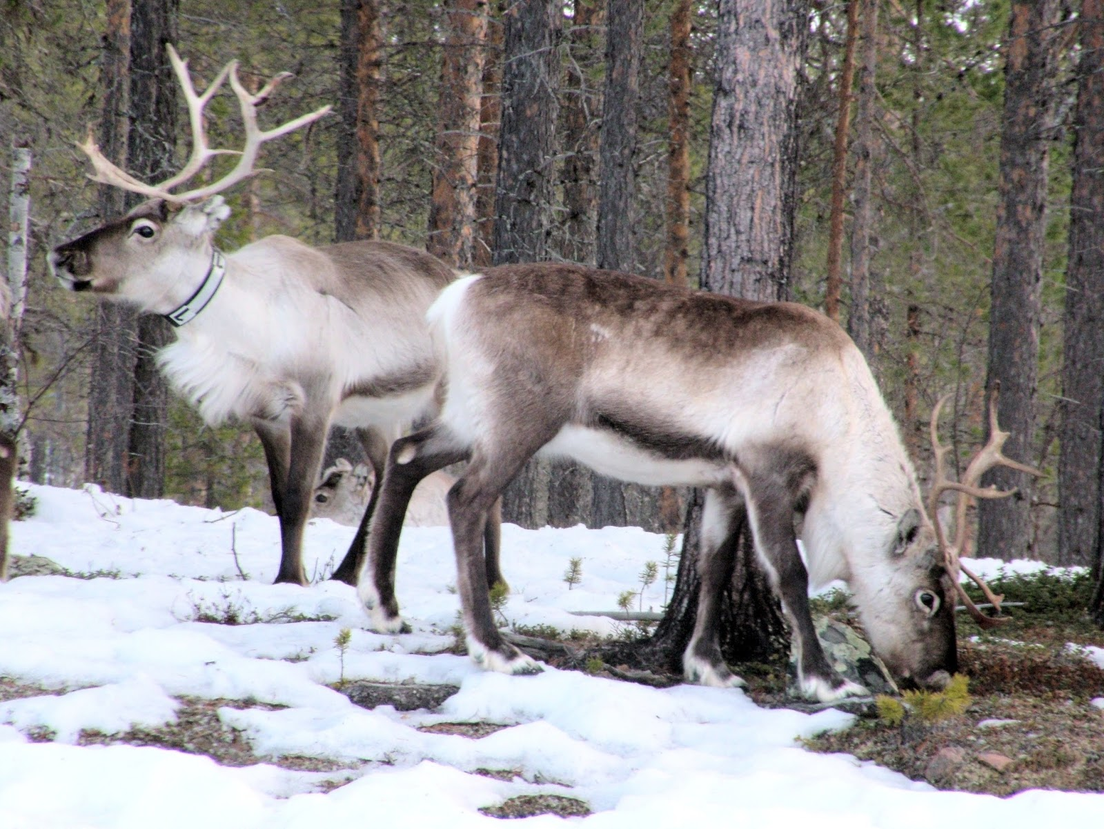 Picture of a arctic reindeer.