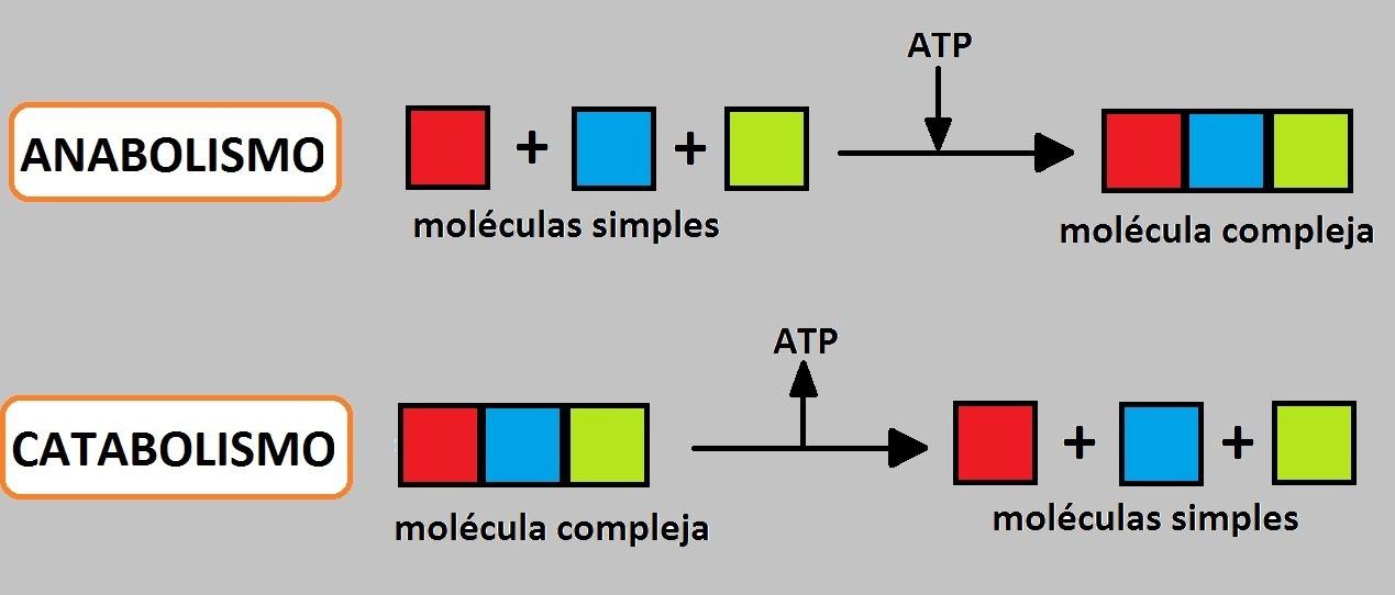 Biología. La ciencia de la vida: Metabolismo Celular