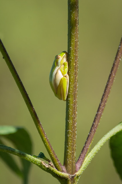 Green Treefrog, Clear Creek Natural Heritage Center