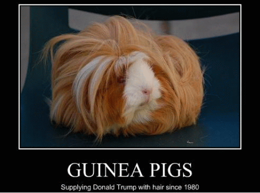 Donald Trump's hair source wig supplier guinea pigs meme - Funny animal hairstyles and hilarious Donald Trump hair memes at the #FridayFrivolity link-up this week!  Join the linky party for all things fun, funny, happy & hopeful!