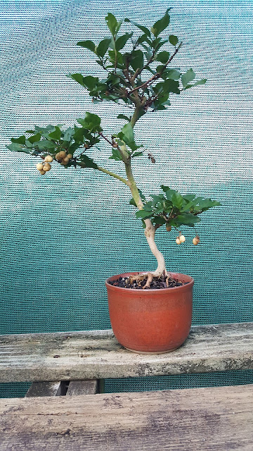 Nicodemia is one of the old time house plants for Classic house plants