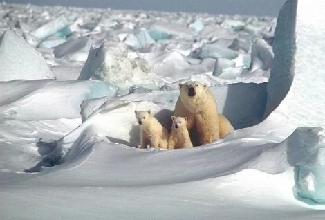 Oso polar con crías