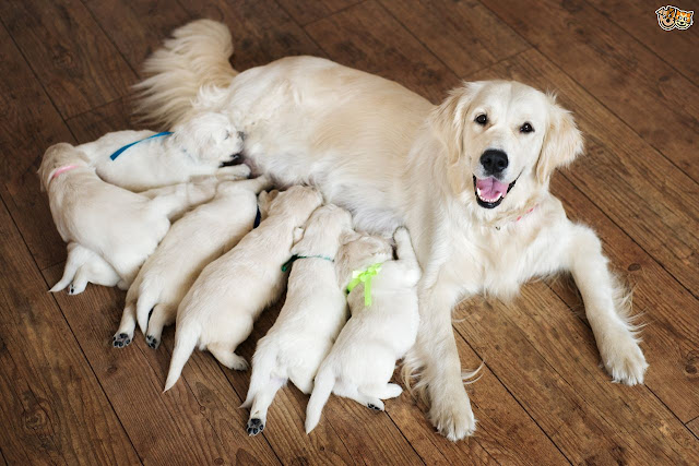 infections-and-diseases-that-are-of-particular-risk-to-pregnant-dogs-594b9bb560276.jpg