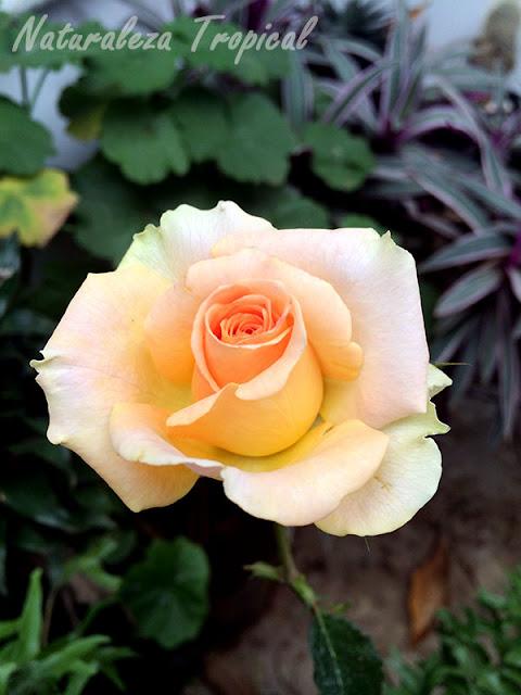 Fotografía de una rosa