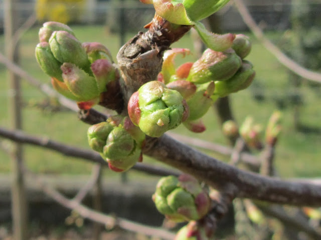 Boccioli fiorali ciliegio