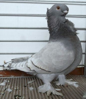 turkish hunkari pigeons