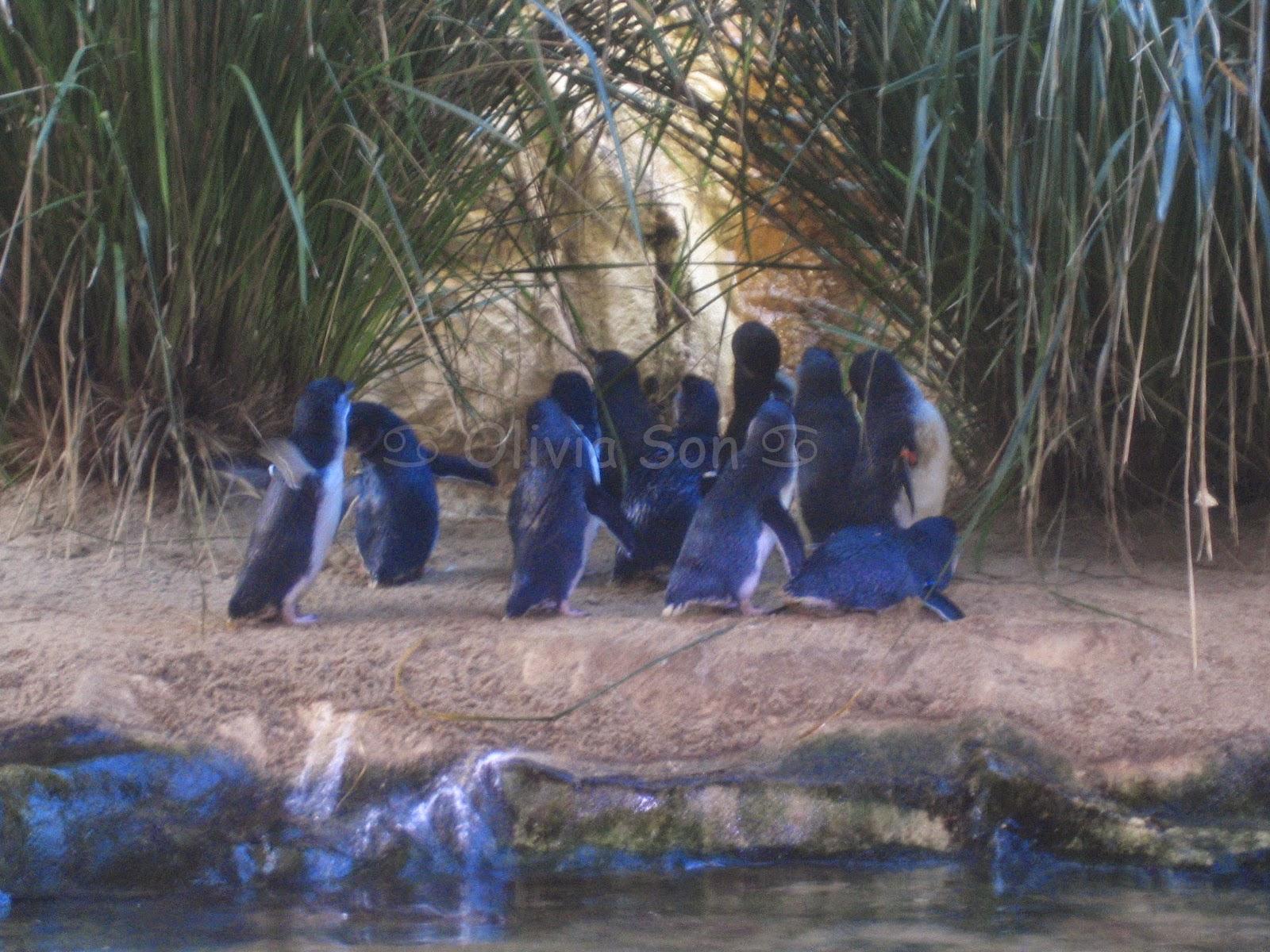 Pingouins, Sydney Aquarium, Sydney, Australie