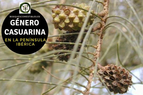 Lista del Género Casuarina, familia Casuarinaceae en la Península Ibérica