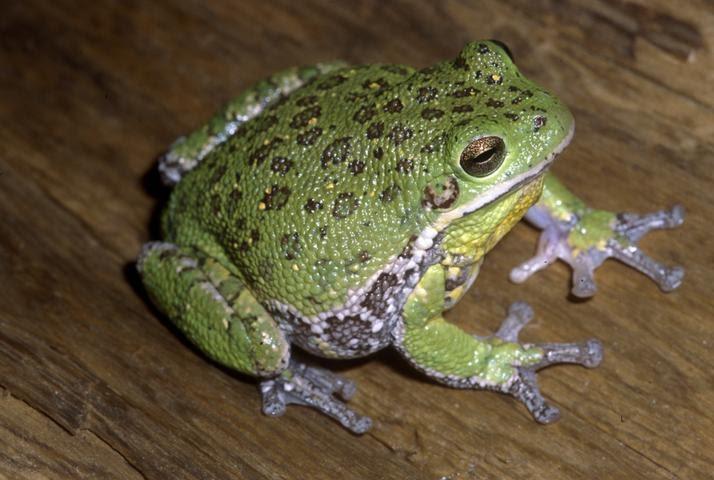 Pet frogs species - photo#29