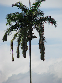 Oropendola nests hang from palm tree