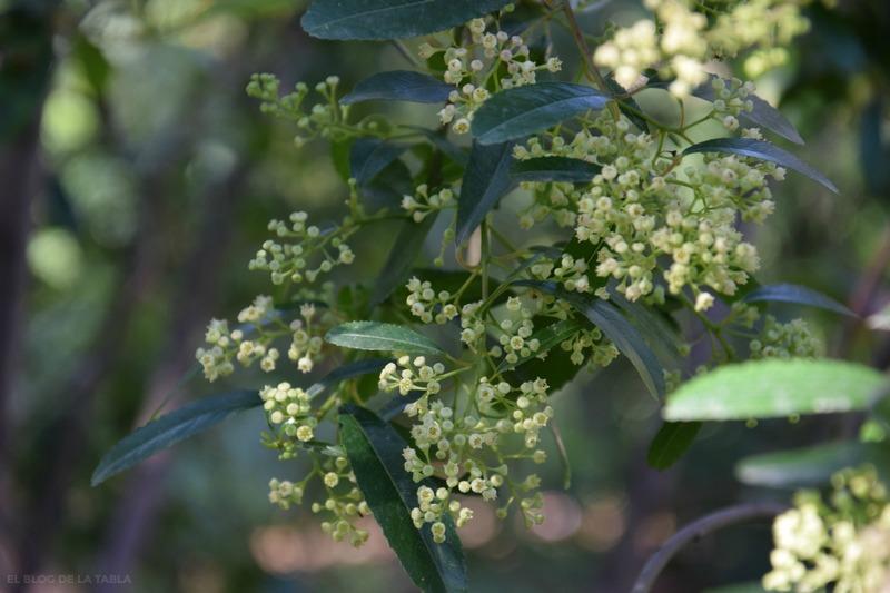flores blancas de arbusto mediterráneo