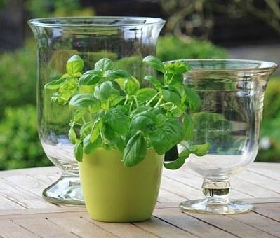 Ramuan teh daun selasih bermanfaat mengobati jerawat dan noda wajah, membuat kulit lebih segar, lebih kenyal, dan lebih cerah.