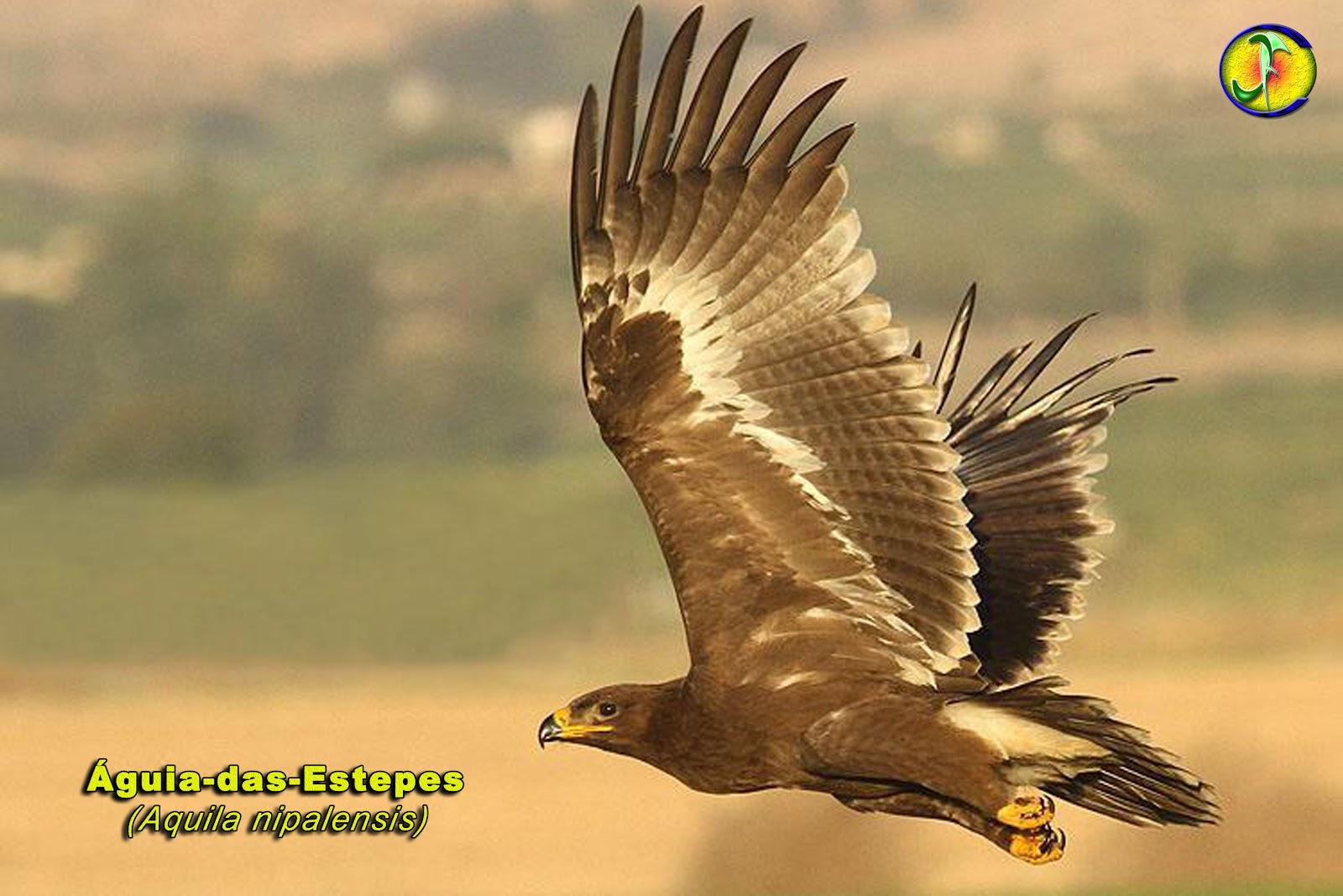 Loba Das Estepes: ORNITOLOGIA: Águia-das-estepes (Aquila Nipalensis