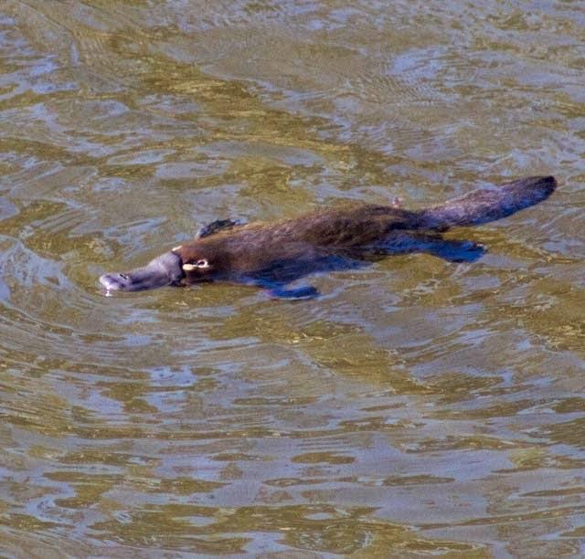 Bombala River platypus